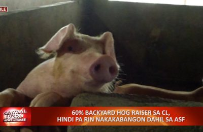 60% backyard hog raiser sa Central Luzon, hindi pa rin nakakabangon dahil sa African Swine Fever