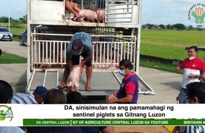 DA, sinisimulan na ang pamamahagi ng sentinel piglets sa Gitnang Luzon | Agri-Balita Central Luzon